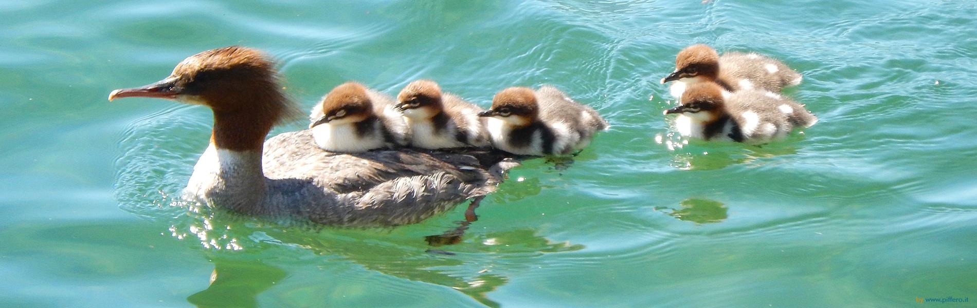 Fauna Lago Maggiore