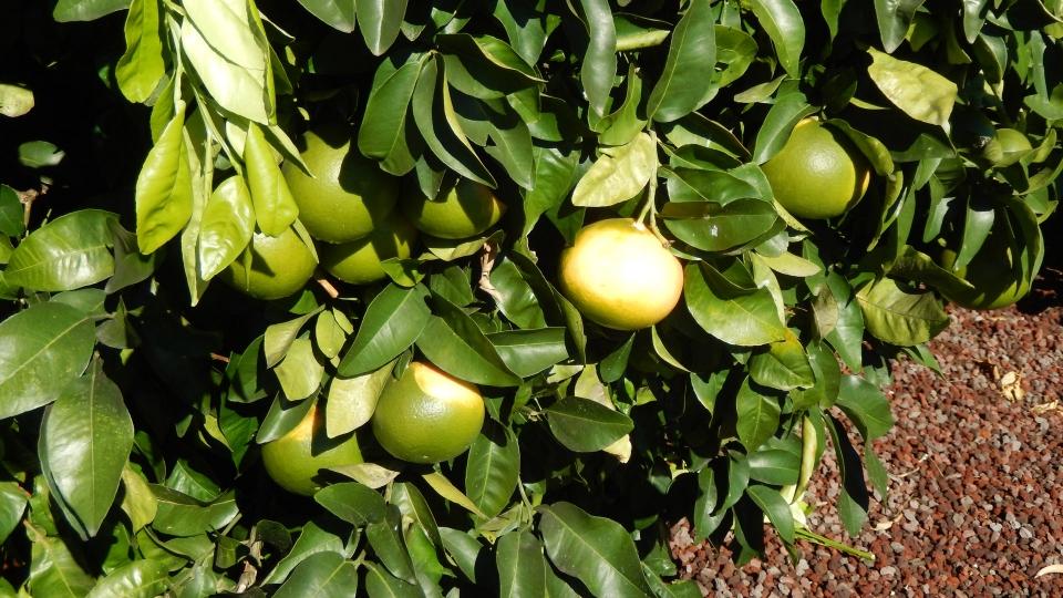 Citrus fruit of Cannero Riviera