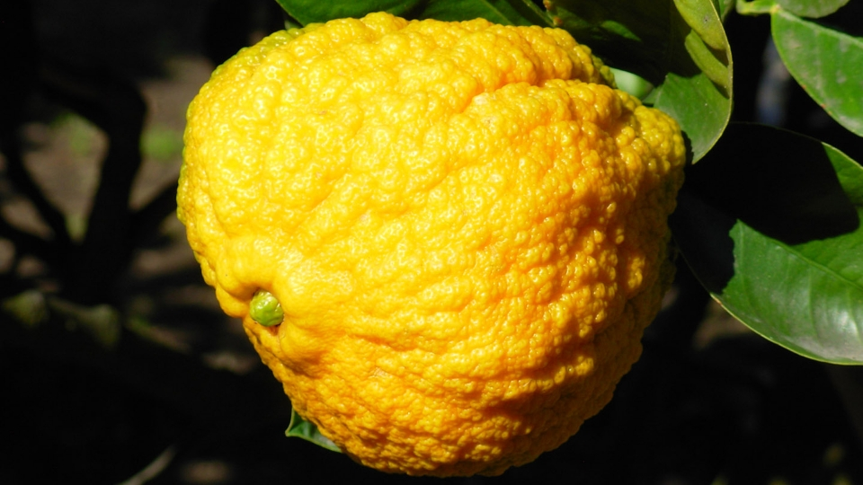 Citrus fruit of Cannero Riviera