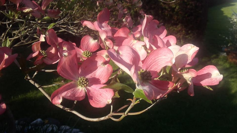 Cannero Riviera- fiori Cornus florida