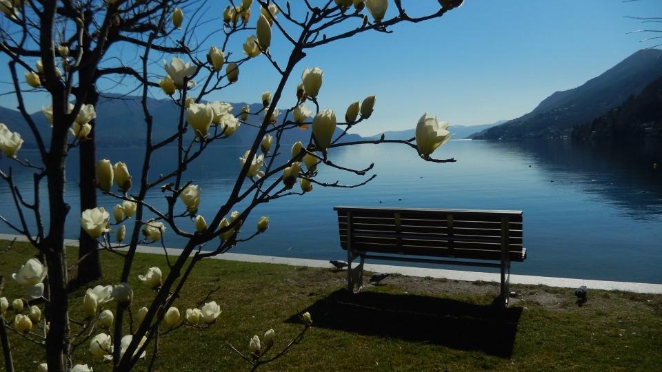 Cannero Riviera - fiori Magnolia soulangeana