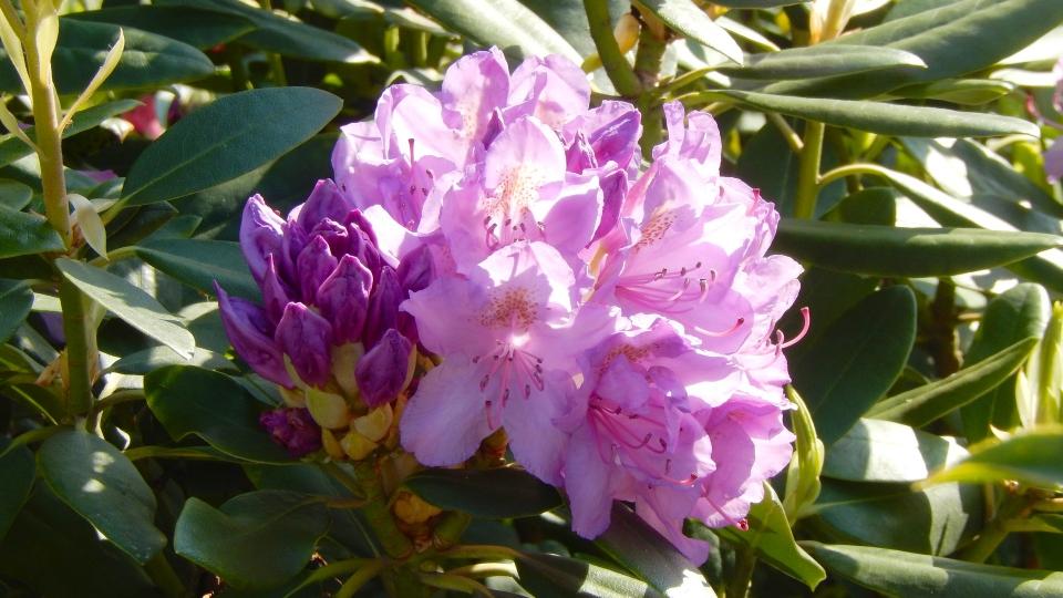 Cannero Riviera - fiori Rododendro