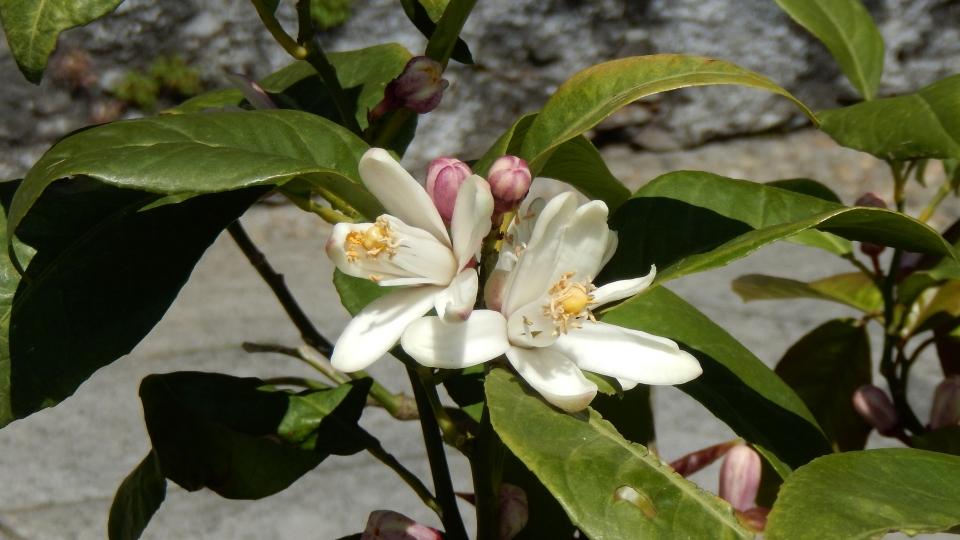 Cannero Riviera - fiori Kumquat