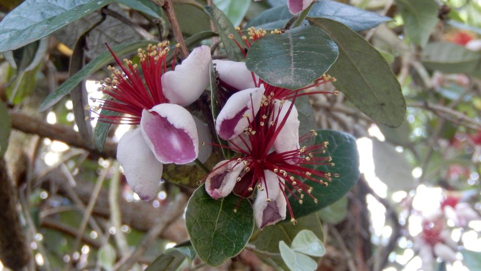 Cannero Riviera - fiori Feijoa Sellowiana