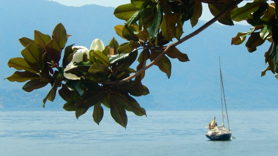 Cannero Riviera - fiori Magnolia grandiflora