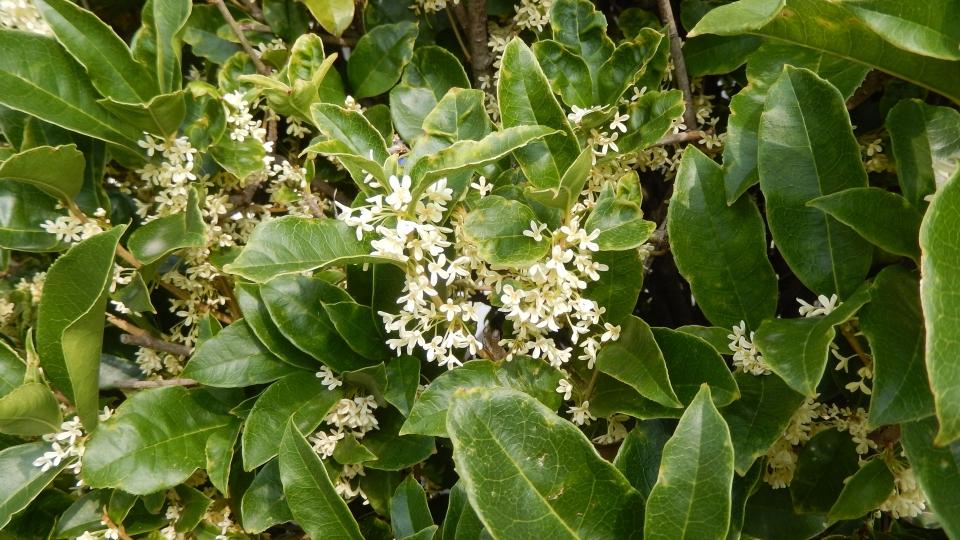 Cannero Riviera - fiori Osmanthus fragrans