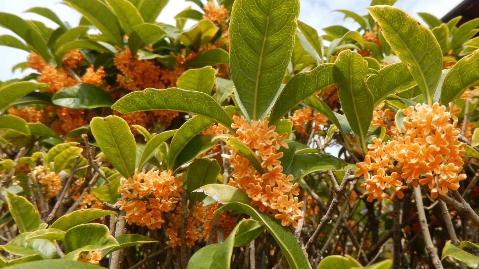 Cannero Riviera - fiori Osmanthus fragrans aurantiacus