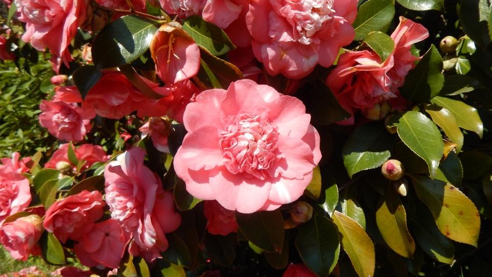 Cannero Riviera - fiori Camelia