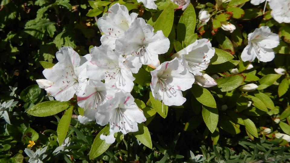 Cannero Riviera - fiori Azalea
