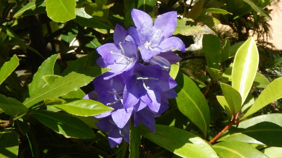 Cannero Riviera - fiori Campanula