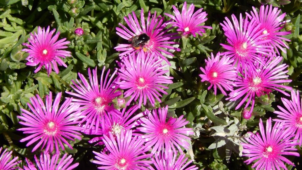 Cannero Riviera - fiori Delosperma