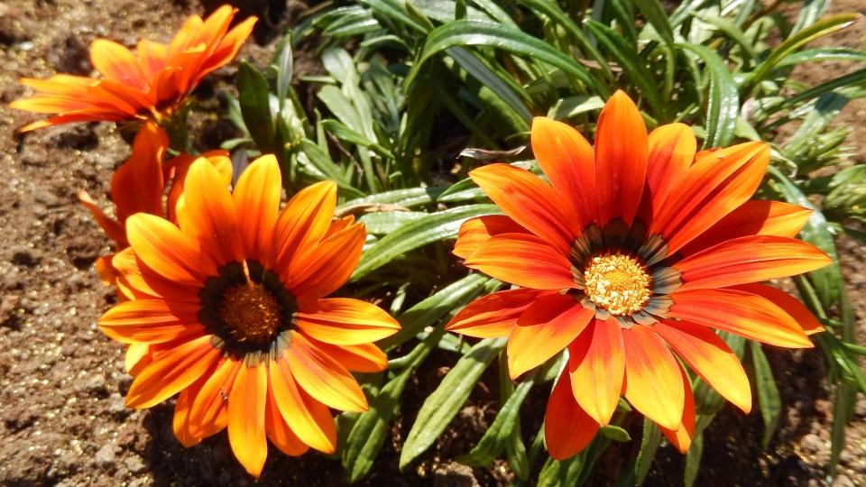 Cannero Riviera - fiori Gazania