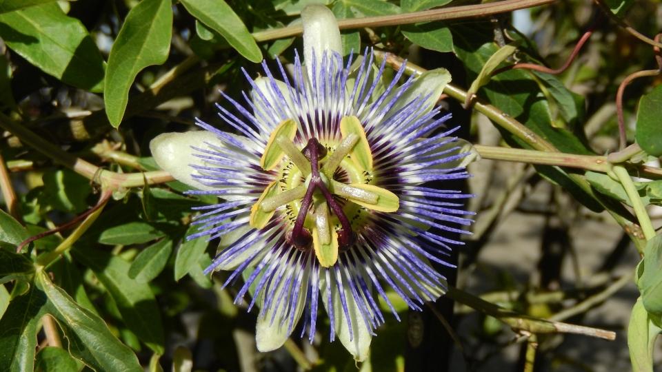 Cannero Riviera - fiori Passiflora