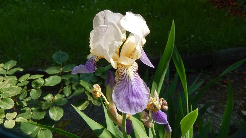 Cannero Riviera - fiori Giaggiolo