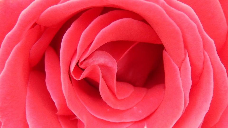 Cannero Riviera - fiori Rosa