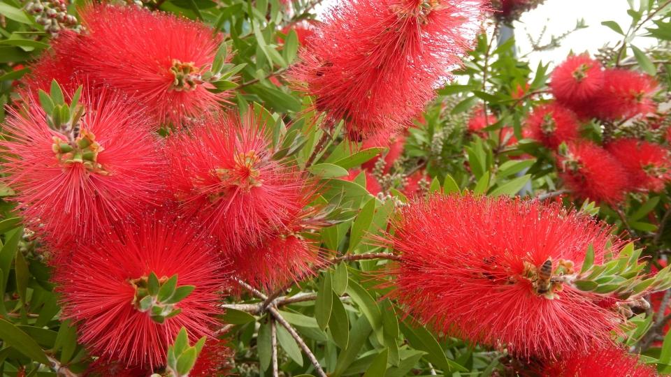 Cannero Riviera - fiori Callistemon