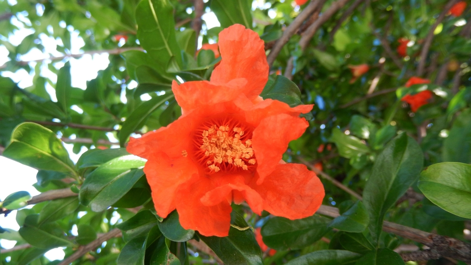 Cannero Riviera - fiori Melograno