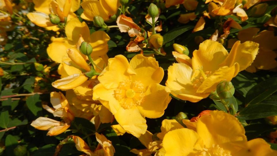 Cannero Riviera - fiori Iperico