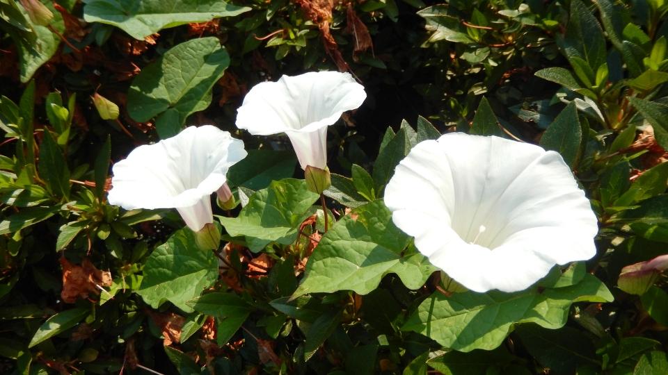 Cannero Riviera - fiori Ipomea