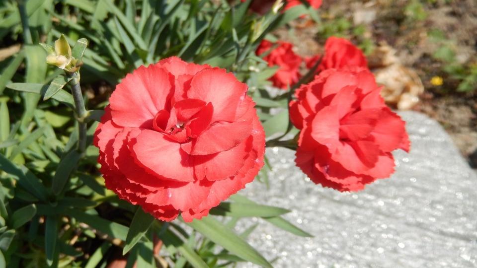 Cannero Riviera - fiori Garofano rosso