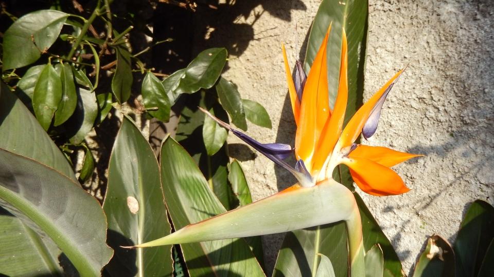 Cannero Riviera - fiori Strelizia regina