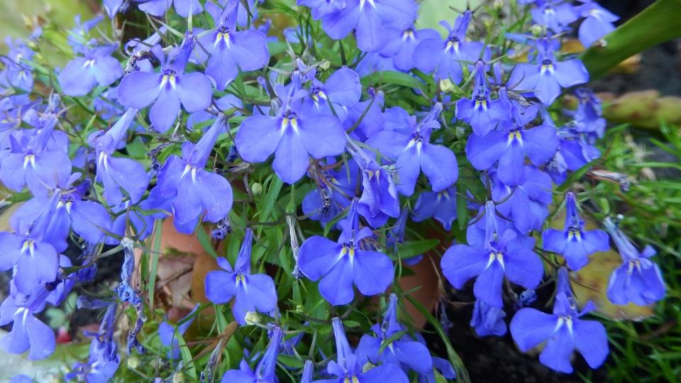 Cannero Riviera - fiori Lobelia