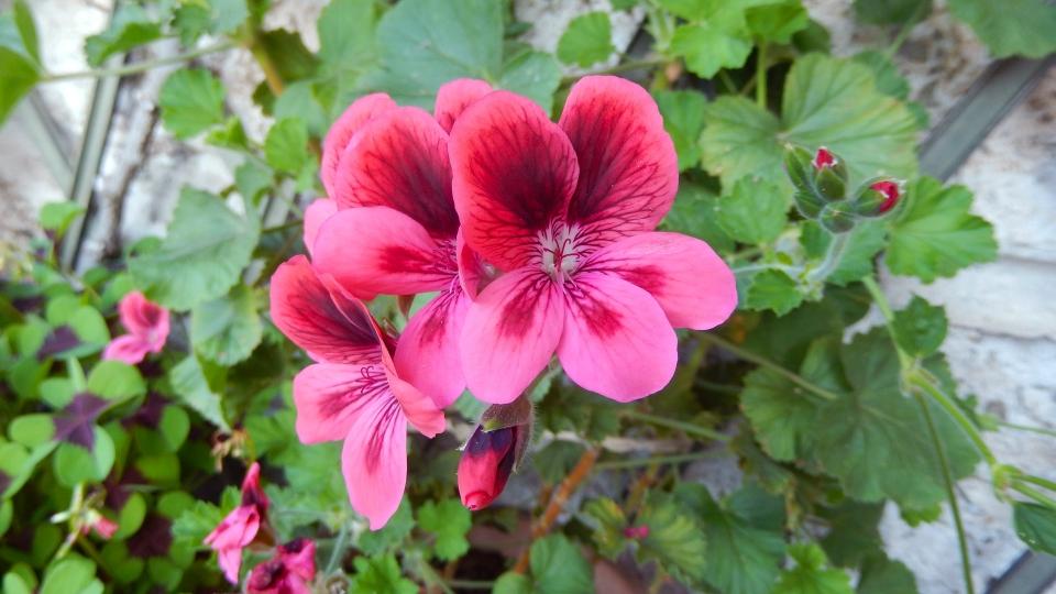 Cannero Riviera - fiori Geranio imperiale