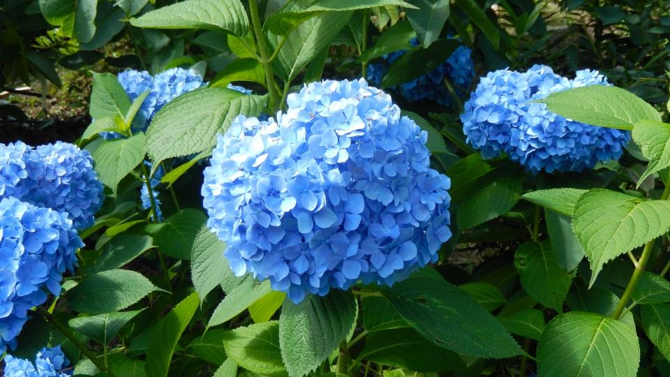Cannero Riviera - fiori Ortensia
