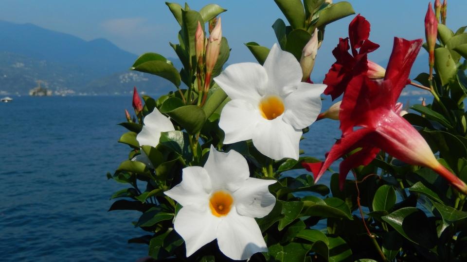 Cannero Riviera - fiori Dipladenia