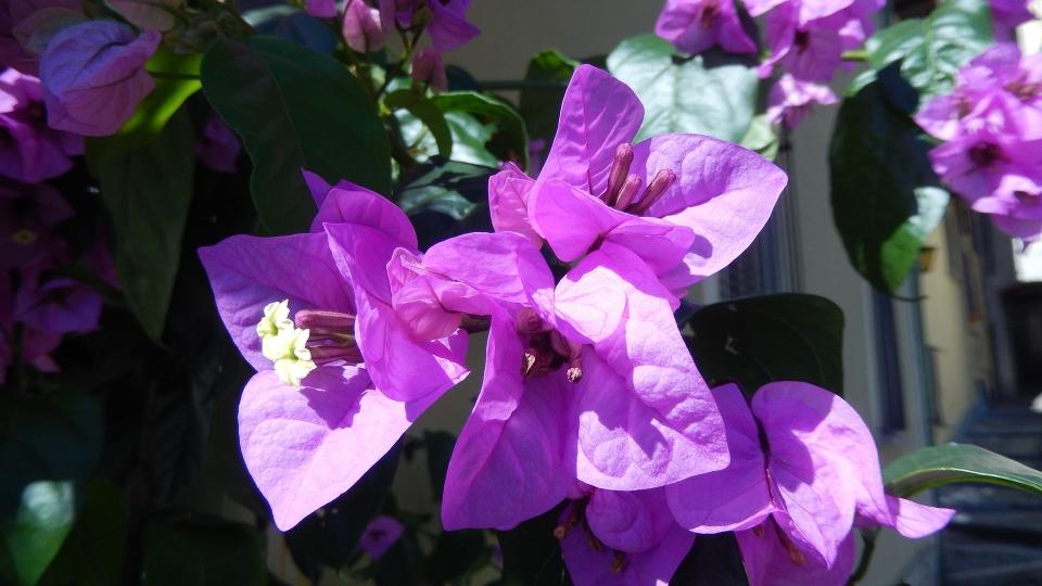 Cannero Riviera - fiori Bougainvillea