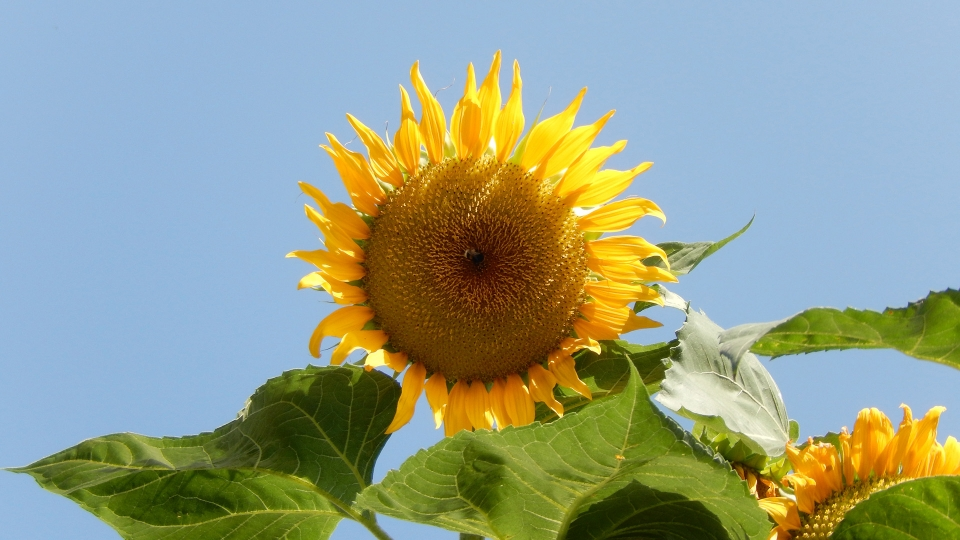 Cannero Riviera - fiori Girasole