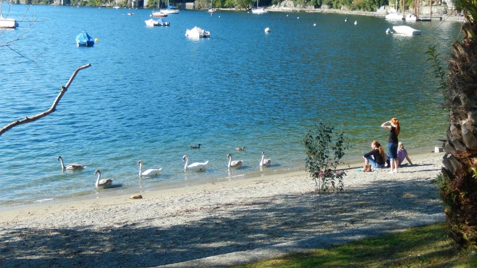 Cannero Riviera - Fauna Cigni