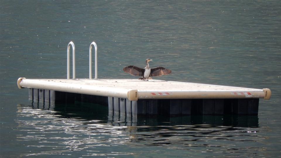 Cannero Riviera - Fauna Cormorano