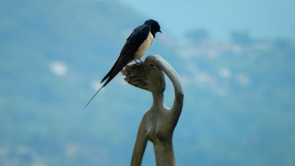 Cannero Riviera - Fauna Rondine Hirundo rustica