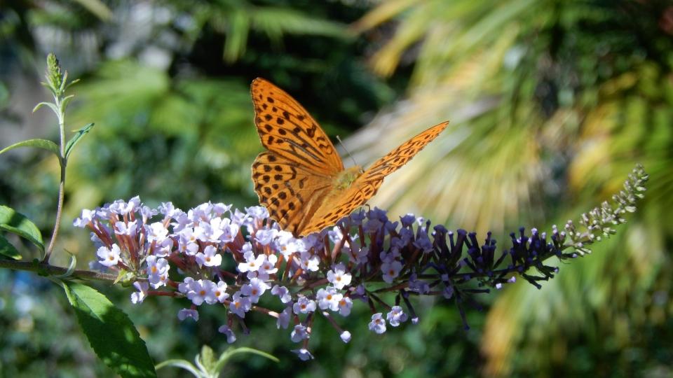 Cannero Riviera - Fauna Paphia su Buddleia