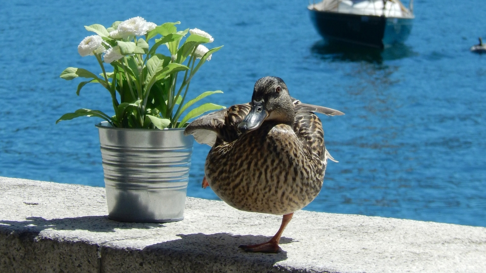 Cannero Riviera - Fauna Germano reale femmina