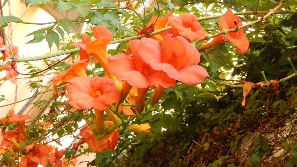 Cannero Riviera - fiori Bignonia