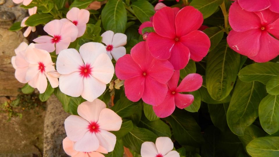 Cannero Riviera - fiori Lisetta