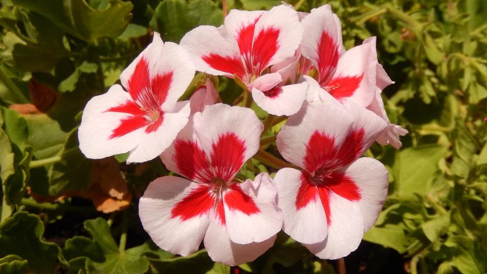 Cannero Riviera - fiori Geranio