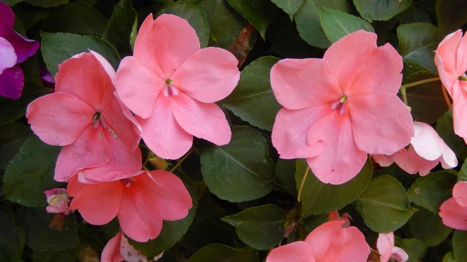 Cannero Riviera - fiori Fiori di vetro