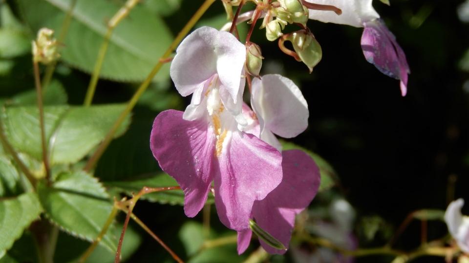 Cannero Riviera - fiori Balsamina