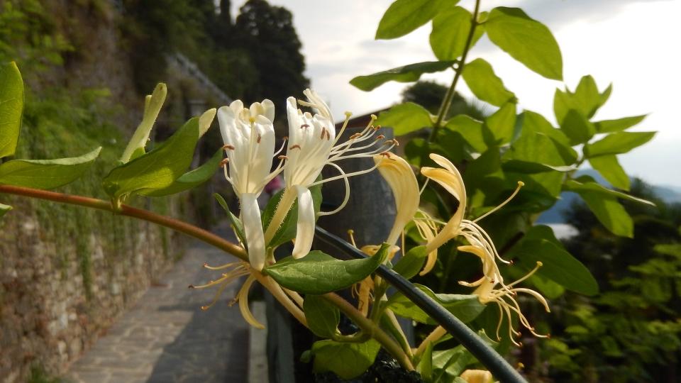 Cannero Riviera - fiori Caprifoglio (Lonicera)