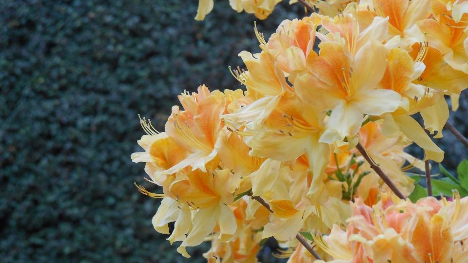 Cannero Riviera - fiori Rododendro (Rhododendron aberconwayi)