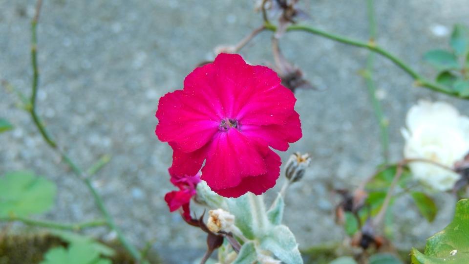 Cannero Riviera - fiori Cotonaria (Lychnis coronaria)
