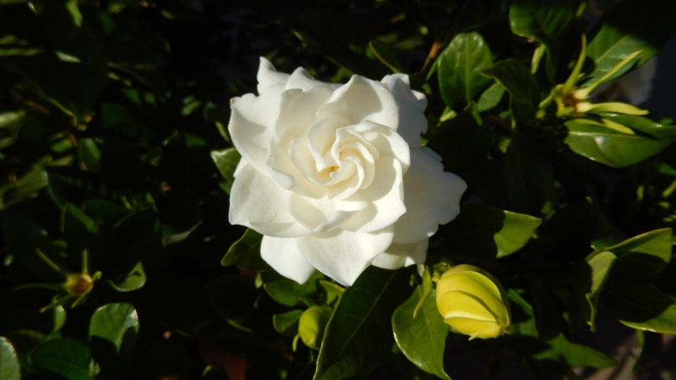 Cannero Riviera - fiori Gardenia