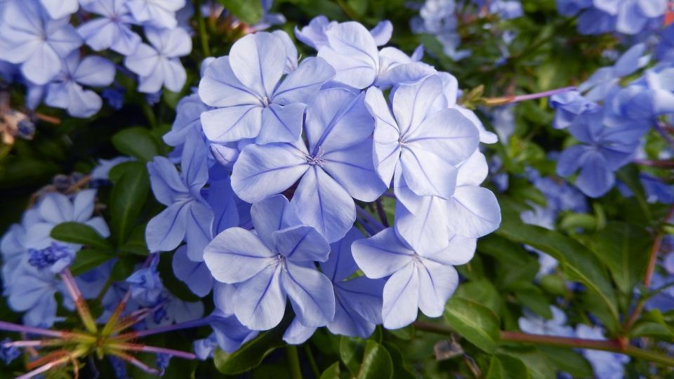 Cannero Riviera - fiori Plumbago