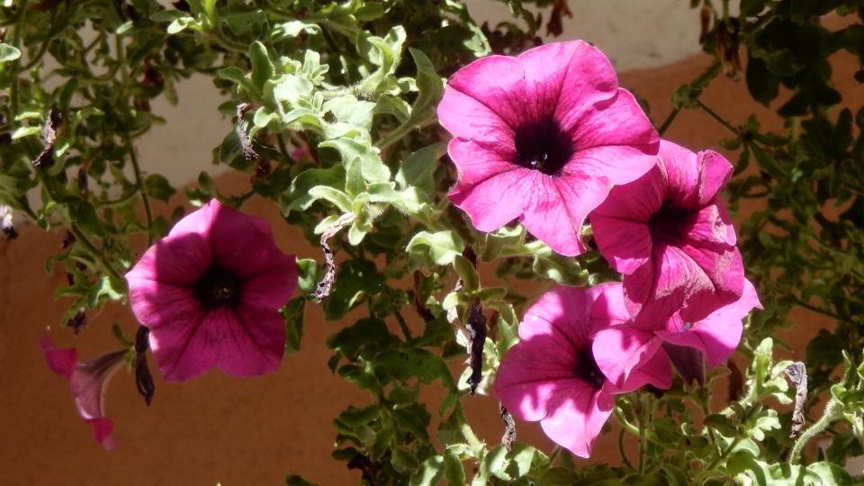 Cannero Riviera - fiori Surfinie