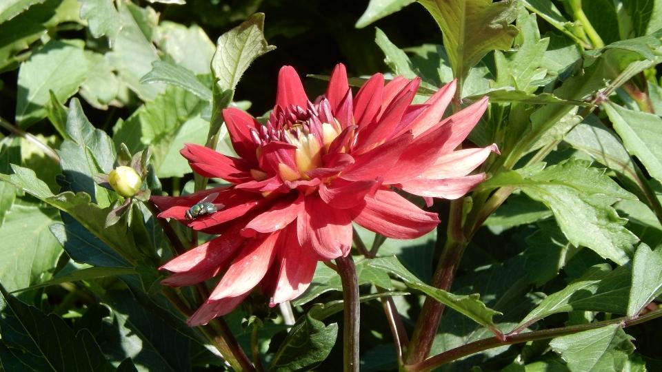 Cannero Riviera - fiori Dalia