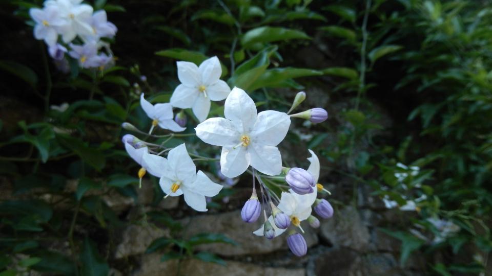 Cannero Riviera - fiori Solanum Jasminoides