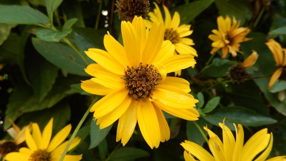 Cannero Riviera - fiori Helianthus